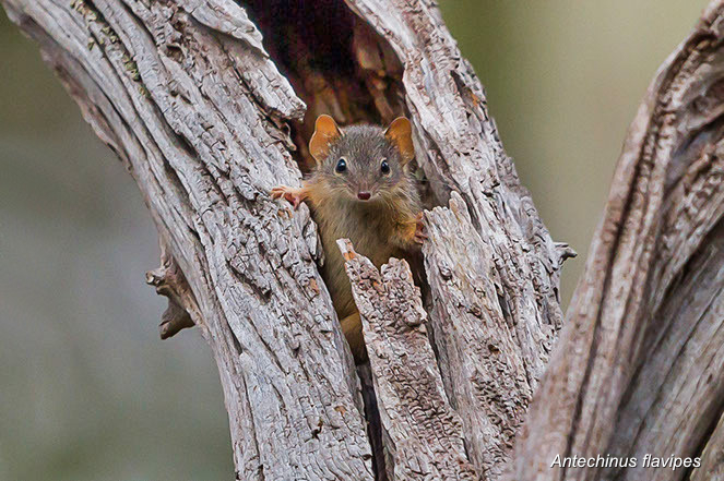 yellow footed antechinus-2